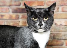 Portrait of a senior tuxedo cat. Black and white with gray throughout his fur looking at viewer with a critical expression. Brick wall in background Stock Photos