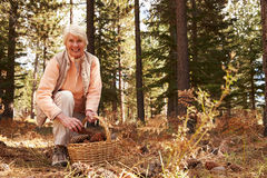 Portrait of senior woman collecting pine cones in a forest Royalty Free Stock Photos