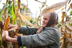 Portrait of a senior woman harvesting corn Stock Images