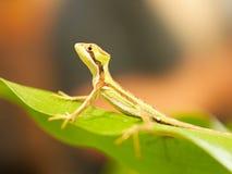 Portrait of Serated Caquehesd Iguana lizard - Laemanctus serratus. Serated Caquehesd Iguana on the leaf - Laemanctus serratus Stock Images