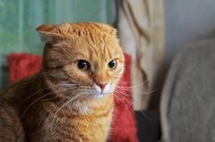 Portrait of a serious and angry red cat Stock Photos