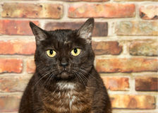 Portrait of a serious bengal house cat. Portrait of one obese black and brown bengal cat with yellow eyes sitting in front of a brick wall looking directly at Stock Photography