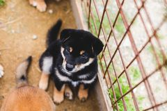 Portrait of serious black and tan shiba inu puppy sitting outside on the ground and looking to the camera. Portrait of serious black and tan shiba inu puppy royalty free stock images