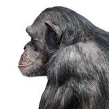 Portrait of serious Chimpanzee in profile at white background, closeup, details. Portrait of serious Chimpanzee in profile at white background royalty free stock photos