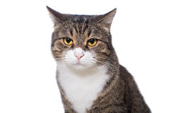 Portrait of a serious grey cat Royalty Free Stock Photography