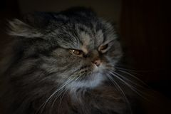 Portrait of serious suspicious gray scotish cat with orange eyes looking away royalty free stock image