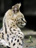 Portrait of serval stock photo