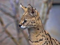 Portrait of Serval, Leptailurus serval, animal on guard. The Portrait of Serval, Leptailurus serval, animal on guard royalty free stock photos