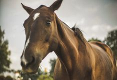 Portrait of lovely mare in the field royalty free stock images