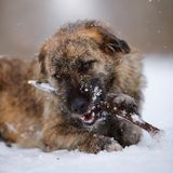 Portrait of a shaggy mongrel gnawing a stick Stock Image