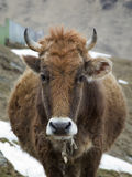 Portrait of a shaggy red cow Stock Images
