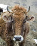 Portrait of a shaggy red cow Royalty Free Stock Image