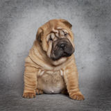 Portrait of Shar-Pei puppy dog Stock Photos