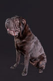 Portrait of a sharpei dog sitting isolated Stock Photography