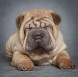 Portrait of sharpei puppy dog Royalty Free Stock Photo