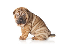 Portrait of sharpei puppy dog Royalty Free Stock Photo