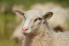 Portrait of a sheep. Portrait of a Dutch sheep Stock Images