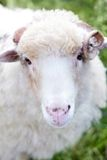 Portrait of sheep Stock Photos
