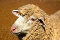 Portrait of sheep Stock Images
