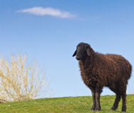 Portrait of a sheep Stock Photography