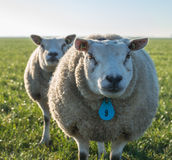 Portrait sheep in backlit Royalty Free Stock Photography