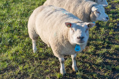 Portrait sheep in backlit Royalty Free Stock Images