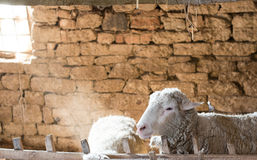 Portrait of a Sheep in a Barn. Stock Photography