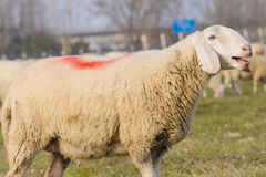 Portrait of sheep Royalty Free Stock Photos