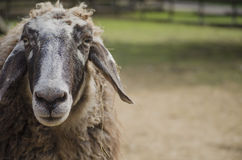 Portrait of a sheep Stock Images