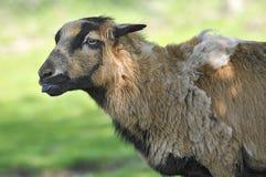 Portrait of sheep on Cameroun. Profile portrait sheep of Cameroon Ovis aries Stock Image