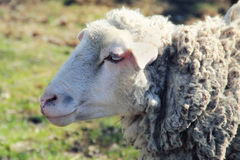 Portrait of Sheep Stock Photography
