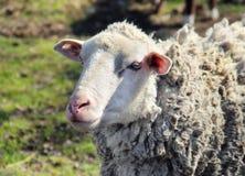 Portrait of Sheep Stock Photo