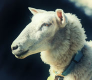 Portrait of the sheep Royalty Free Stock Images