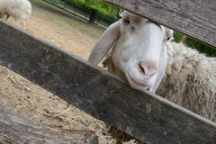 Portrait of a sheep into a a farm Stock Photography