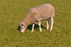 Portrait of a sheep grazing on grass Royalty Free Stock Photos