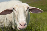 Portrait Sheep green grass meadow Stock Image