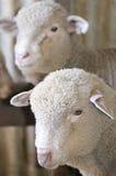 Portrait sheep lamb Stock Photography