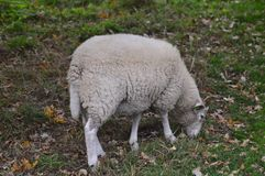 Portrait of a sheep stock image