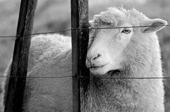 Portrait of a sheep stand behind a fence of a sheep farm Royalty Free Stock Photo