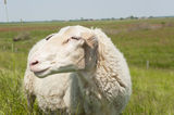 Portrait Sheep sunny day in meadow Royalty Free Stock Photography