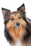 Portrait of a sheltie dog Stock Image