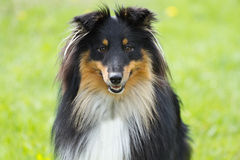 Portrait of sheltie dog. On a green grass background Royalty Free Stock Image