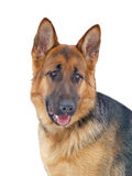 Portrait of a Shepherd. Portrait of a German Shepherd from the front Royalty Free Stock Photos