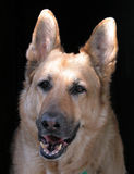 Portrait of a Shepherd. German Shepherd head and shoulders Stock Photo