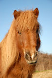Portrait of Shetland pony stock image