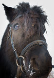 Portrait of a Shetland pony Royalty Free Stock Photos