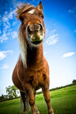 A portrait of a Shetland pony with blue skies and  Royalty Free Stock Photos