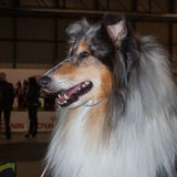 Portrait of a Shetland Sheepdog at the international dogs exhibition of Milan, Italy Royalty Free Stock Image