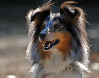 Portrait of a Shetland Sheepdog (Sheltie). A Shetland Sheepdog (Sheltie) in the park Royalty Free Stock Photo