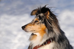 Portrait of a Shetland Sheepdog (Sheltie). A Shetland Sheepdog (Sheltie) in the park in winter Royalty Free Stock Photography